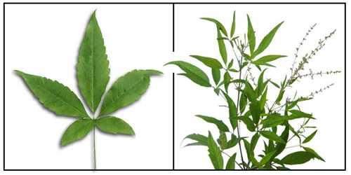 Vitex Peduncularis Plant