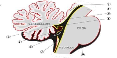 Metencephalon