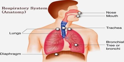 Respiratory System (Anatomy)