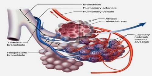 Pulmonary Alveolus - Assignment Point