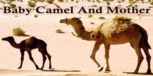 Baby Camel And Mother