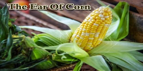 The Ear Of Corn