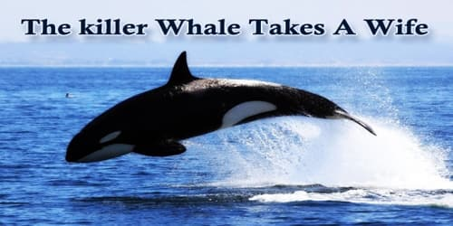 The killer Whale Takes A Wife