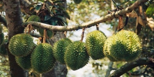 Visiting a Durian Orchard