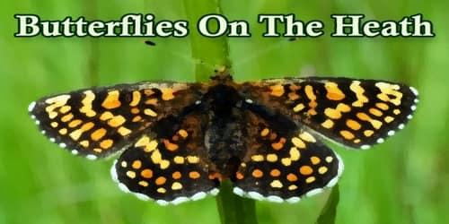 Butterflies On The Heath
