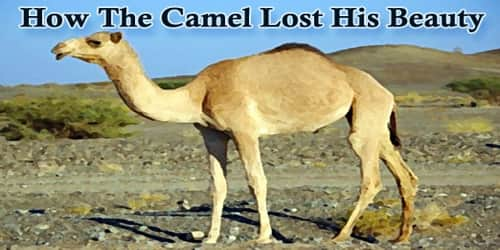 How The Camel Lost His Beauty