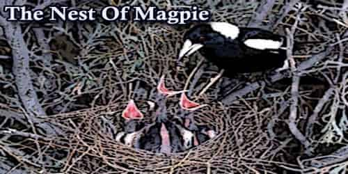 The Nest Of Magpie