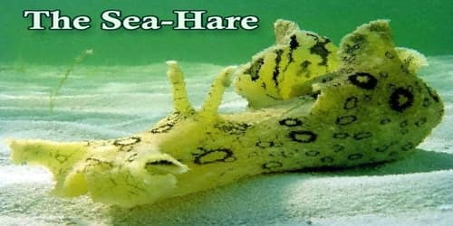 The Sea-Hare