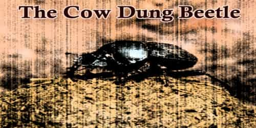 The Cow Dung Beetle