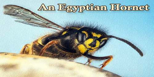 An Egyptian Hornet