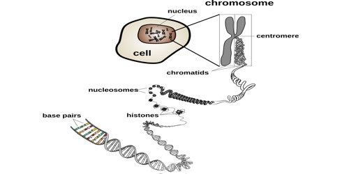 The Chromosome