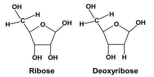 The Deoxyribose