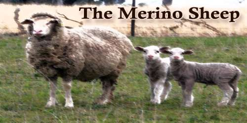 The Merino Sheep