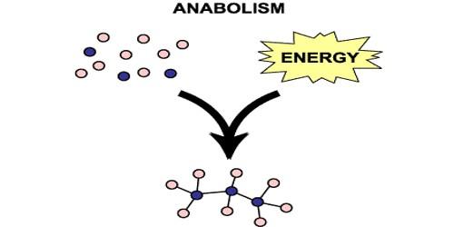Anabolism