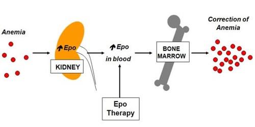 Erythropoietin