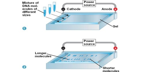 Gel Electrophoresis and its Application