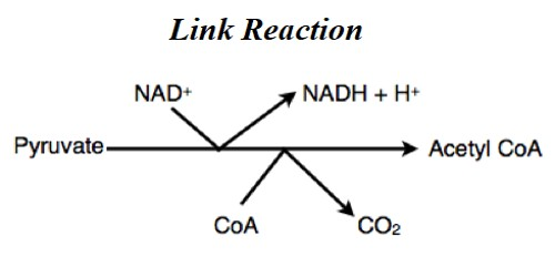 Link Reaction (pyruvate decarboxylation)