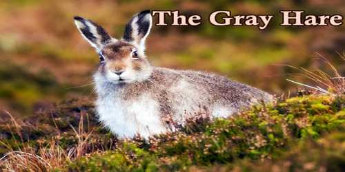 The Gray Hare