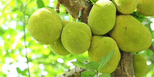 The Jackfruit – Our National Fruit