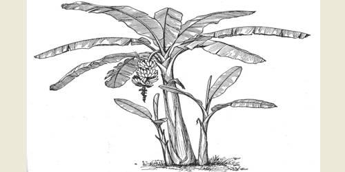 The Banana Tree