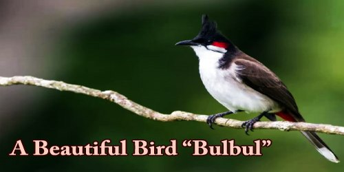 "A Beautiful Bird ""Bulbul"""