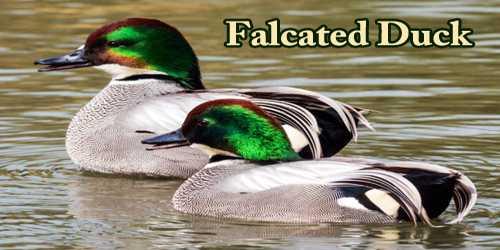 """A Beautiful Bird """"Falcated Duck"""""""