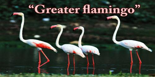 "A Beautiful Bird ""Greater flamingo"""
