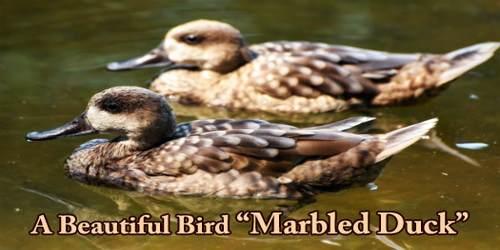 """A Beautiful Bird """"Marbled Duck"""""""