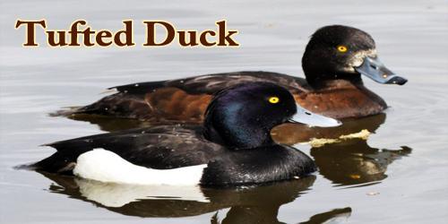 """A Beautiful Bird """"Tufted Duck"""""""