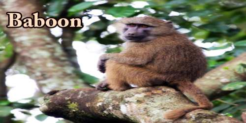 Life Of A Baboon