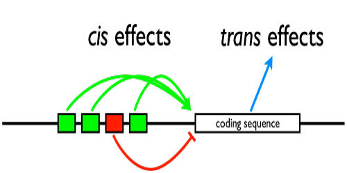 Cis Effect