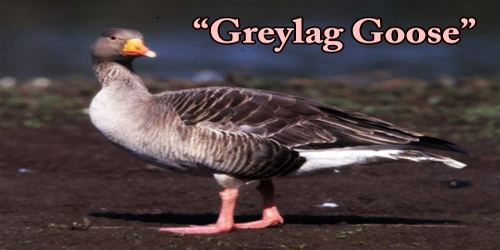 "A Beautiful Bird ""Greylag Goose"""