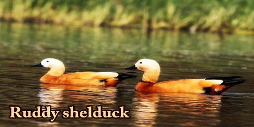 "A Beautiful Bird ""Ruddy shelduck"""