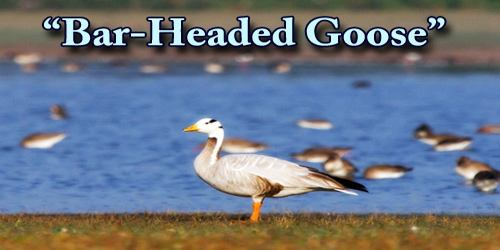 "A Beautiful Bird ""Bar-Headed Goose"""