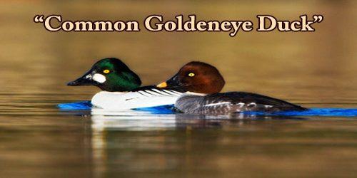 "A Beautiful Bird ""Common Goldeneye Duck"""