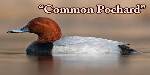 "A Beautiful Bird ""Common Pochard"""