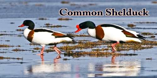 "A Beautiful Bird ""Common Shelduck"""