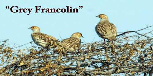 "A Beautiful Bird ""Grey Francolin"""