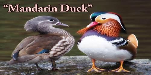 """A Beautiful Bird """"Mandarin Duck"""""""