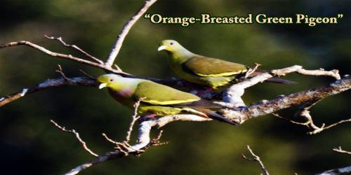 """A Beautiful Bird """"Orange-Breasted Green Pigeon"""""""