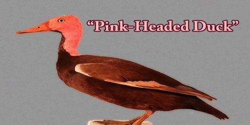 """A Beautiful Bird """"Pink-Headed Duck"""""""