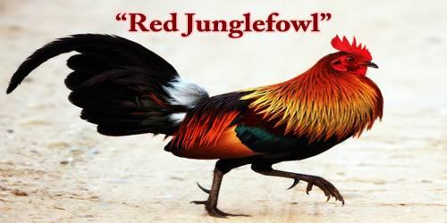 "A Beautiful Bird ""Red Junglefowl"""
