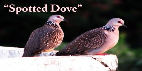 """A Beautiful Bird """"Spotted Dove"""""""