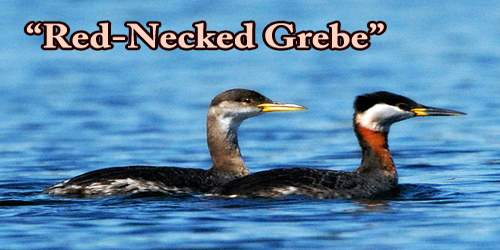 """A Beautiful Bird """"Red-Necked Grebe"""""""