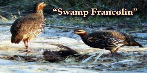 "A Beautiful Bird ""Swamp Francolin"""