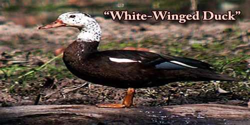 "A Beautiful Bird ""White-Winged Duck"""