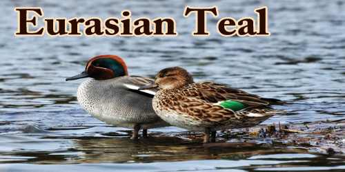 "A Beautiful Bird ""Eurasian Teal"""