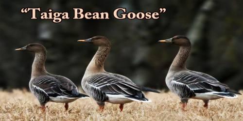 """A Beautiful Bird """"Taiga Bean Goose"""""""