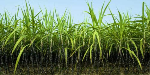 The Sugarcane