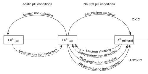 Iron Cycle(Fe)